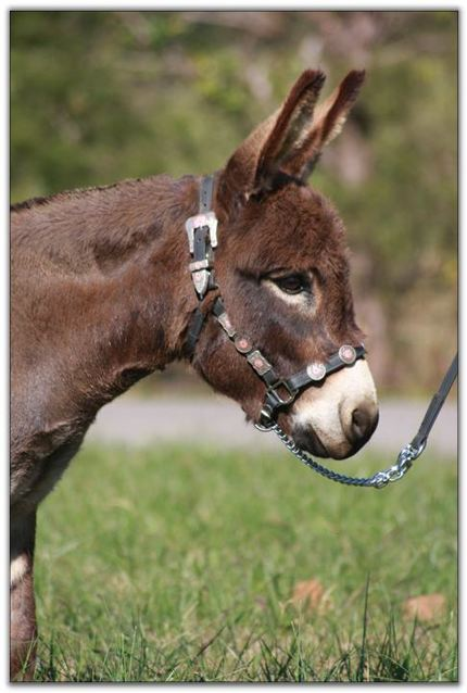 HHAA_MaBelll_Miniature_donkey_jenny_head_profile_photo