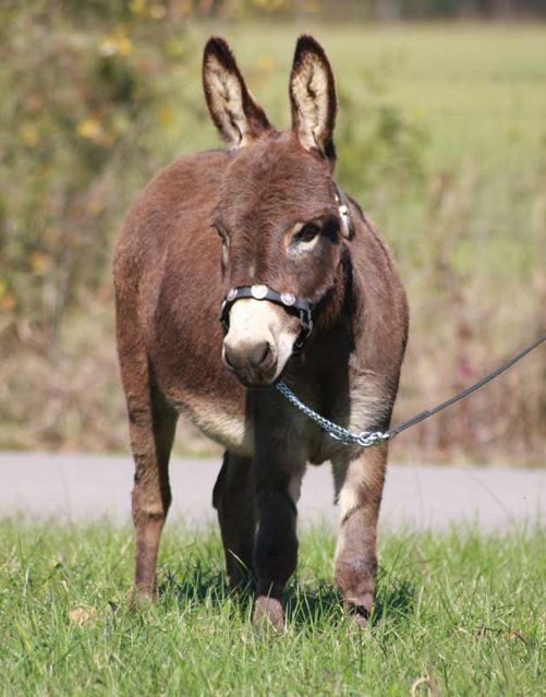 HHAA_Ma_Bell_Dark_Brown_mini_donkey_jenny_photo_Poplargrove_stud