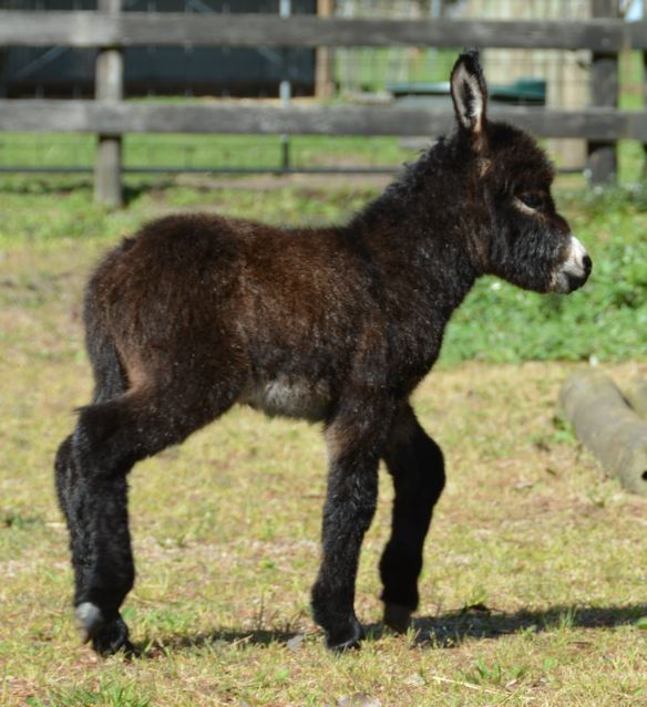 Poplargrove_mini_donkey_filly_foal_photo_Ador_A_Bell_RHS