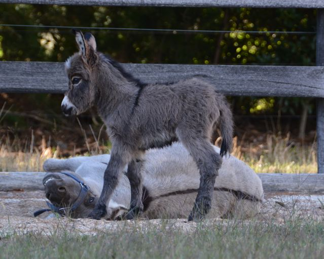 Poplargrove_Claire_de_lune_mini_donkey_filly_Foal_photo_with dam_smiling_and_rolling