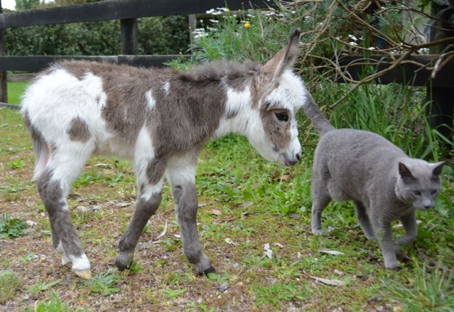 Poplargrove_Gunna_B_Famous_ dark_spotted_jack_foal_sniffing_A_Russian_Blue_cat_photo