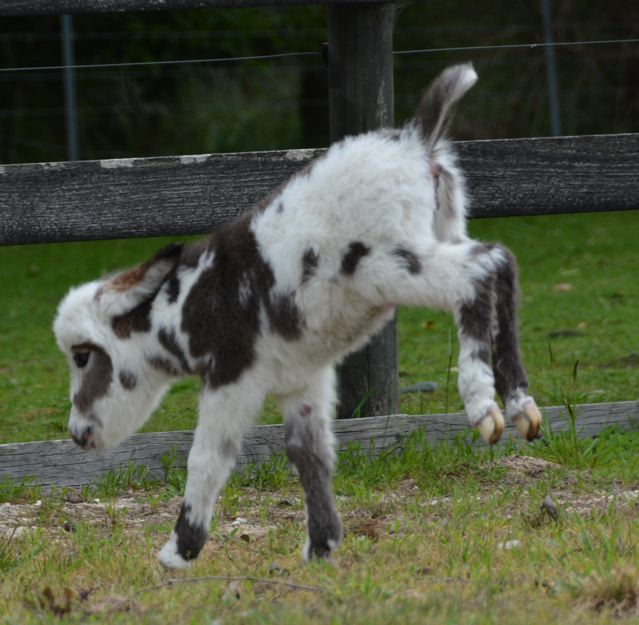 Poplargrove_Picture_Perfect_black_And_White_spotted_filly_foal_photo_kicking_up