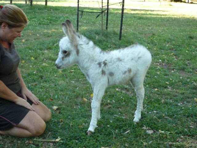 Poplargrove_White_Knight_Spotted_Miniature_Donkey_jack_Donkey_foal__at_16_days_Old_2013
